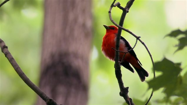 Breeding male Scarlet Tanager, very distinctive and highly contrasting with the forost background; females are yellowish