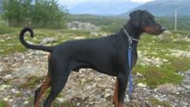 A Doberman with naturally floppy ears and its full tail. Several provinces in Canada, and many countries now ban cosmetic surgery such as ear cropping and tail docking