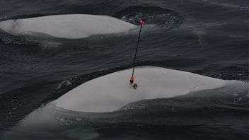 Tagging a beluga is tricky, but once attached, will transmit the beluga's position to a satellite.