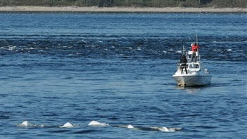 Two belugas have been tagged and the crew is hoping to tag four more before winter weather forces them to pull their boat out of the water.