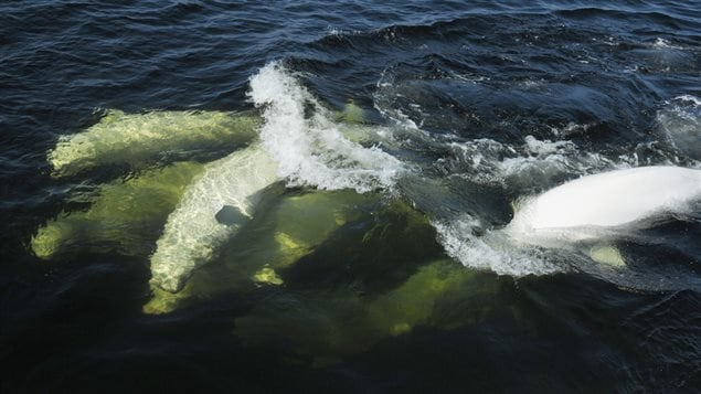 An estimated 10,000 belugas used to make the St. Lawrence River home. Now there are only 900.