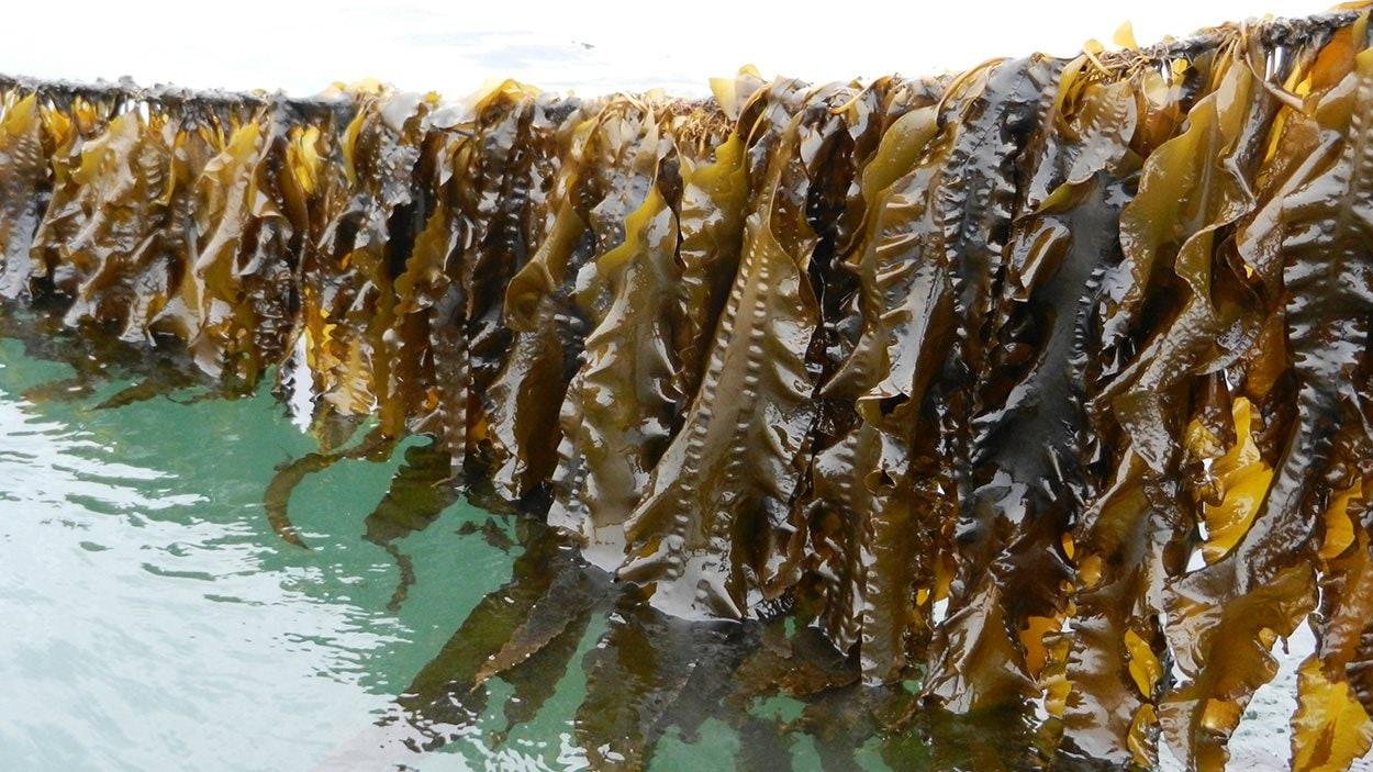 Les algues laminaires récoltées