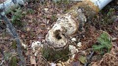 Un arbre abattu par les castors
