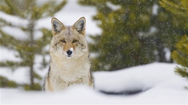 Près de 63 % des loups du Québec proviendraient de croisements avec des coyotes.