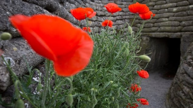 Poppies bloom in the walls of First World War trenches along the Western Front in Diksmuide, Belgium, 100 years after John McCrae wrote his iconic poem 'In Flanders Fields.'