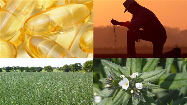 La plante de l'ahiflower, appelé le grémil des champs produit des graines desquelles est extraite une huile riche en acide omega-3
