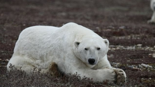A bear showing loose skin flaps from a summer without much food, waits on the shores of Hudson Bay for the sea to freeze over so it can begun hunting for seal.