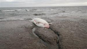 Découverte d'une carcasse de béluga dans l'archipel de Mingan au Québec.