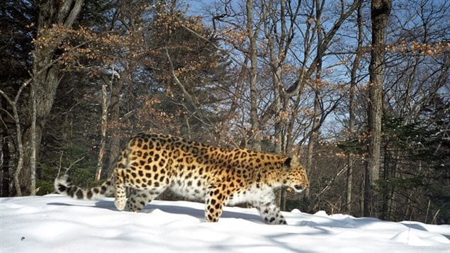 The Far Eastern leopard is the northernmost leopard subspecies, found north of the 45th parallel. These days, it can be found only in the southwest of the Primorye Territory in the Russian Far East.