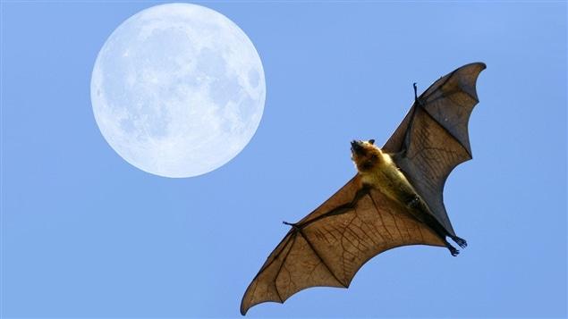 Une chauve-souris en vol