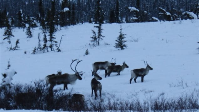 Caribou from the Porcupine herd in Yukon. Woodland Caribou are decliniing across Canada, due in part to issues like habitat loss of the Boreal forest, and climate change
