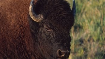 While bison are not usually mean, you would not want to get in their way.