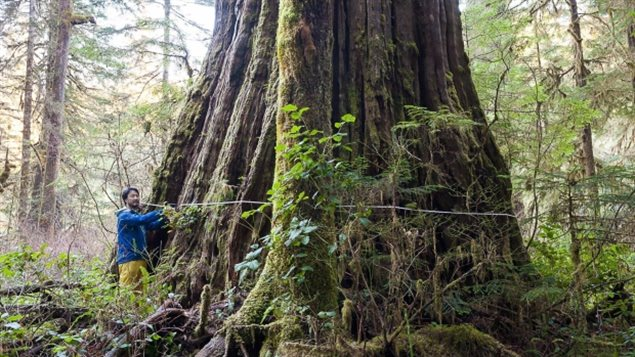 Measuring the base of the *Tolkien Giant* one of the named trees in the southern area of the Central Walbran Valley on Vancouver Island, B.C., and also in a presently unportected area.