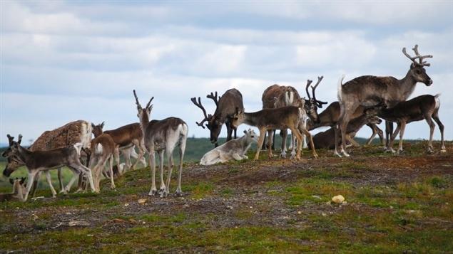 Un groupe de rennes