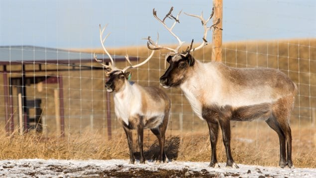 Eight Caribou and the University of Calgary Wildlife Research Station (Spyhill Campus) have been infected with lungworm for research purposes. Climate change is believed to be contributing to the spread of the parasites