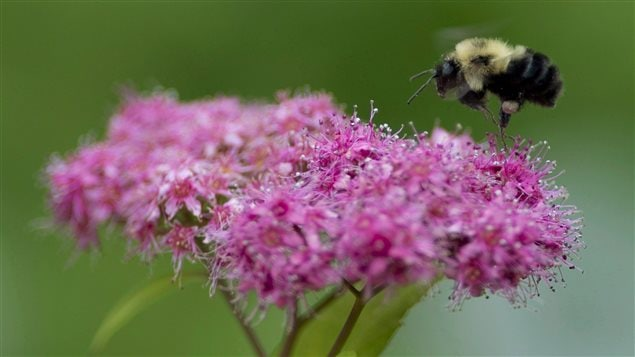 A bee pollinates flowers in a garden in Chelsea, Que., Wednesday June 25, 2014 .