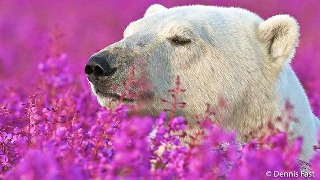 Un ours polaire dans un champ de fleurs, capturé par le photographe Dennis Fast