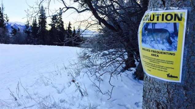 Signs warning of the presence of wolves have been posted in Whitehorse in the northern territory of Yukon.