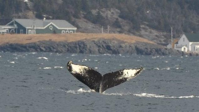 Il est possible pour le public d'observer les baleines sur la côte de Terre-Neuve