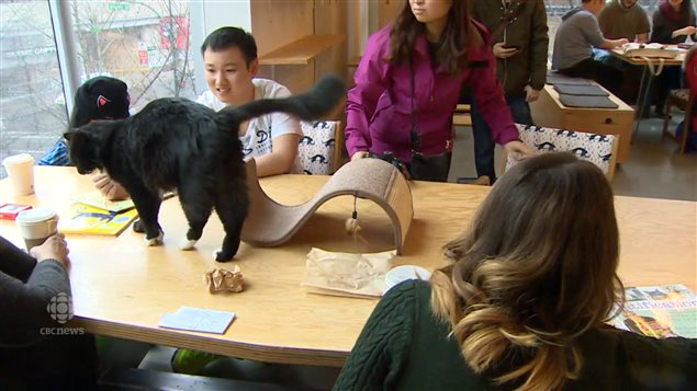 The lounge section of the Catfe in Vancouver where cats and coffee drinkers can mingle. Some people just enjoy spending a little time with the cats  while others decide to adopt them.