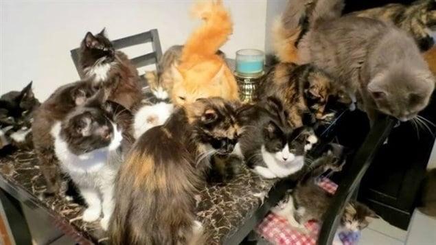 Gatos en una vivienda. Diane Camino en Toronto tenía 107 felinos bajo el mismo techo.