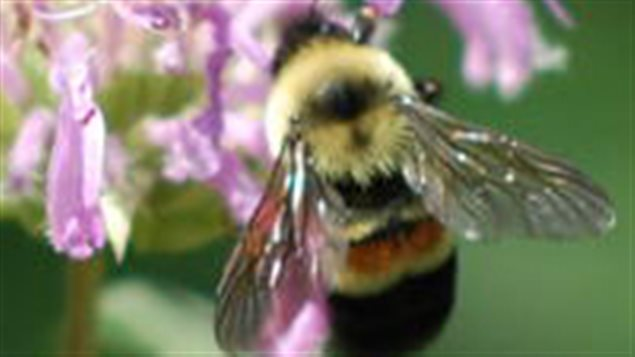Along with other species of bumble bee, the *rusty-patched bumble bee was not long ago, very common throughout southern Ontario. In recent years researchers have tried but were unsuccessfu in finding any and is now considered *endangered* and threatened with extirpation or extinction.