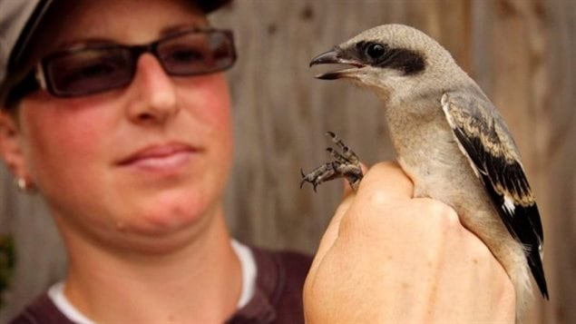 Saving the songbirds. This Eastern Loggerhead Shrike is a critically endangered songbird. There may be only 15-30 breeding pairs left i the wild