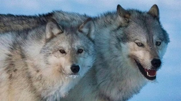 Conservation groups have launched a challenge to British Columbia's plans to kill wolves as a way to save the dwindling mountain caribou.