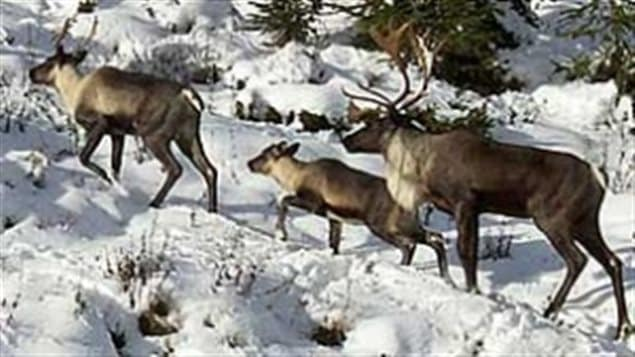 The population of mountain caribou, a subspecies, is dwindling rapidly. The BC governemtn says its because of predators like wolves, conservationists say its because their habitat is dwindling thanks to exploitation by forestry and other industries.