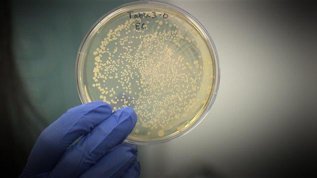 La bactérie listéria