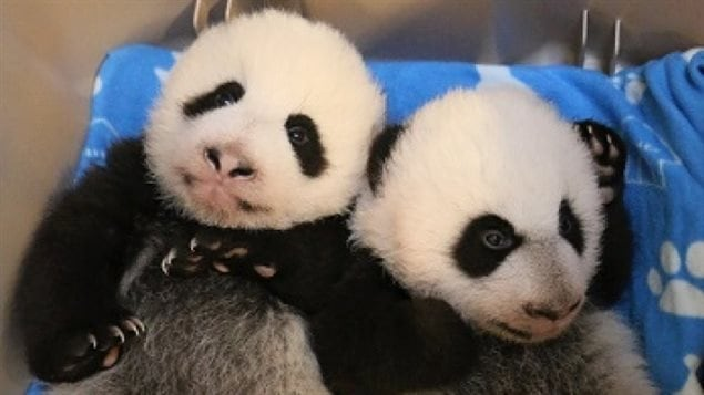 The Toronto Zoo celebrated two panda cubs 100 days on January 20, 2016.