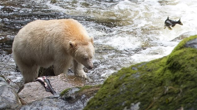 Oso Kermode pescando en el bosque Grand Ours en Columbia Británica.