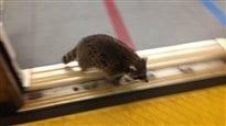 Un raton laveur prend le métro à Toronto