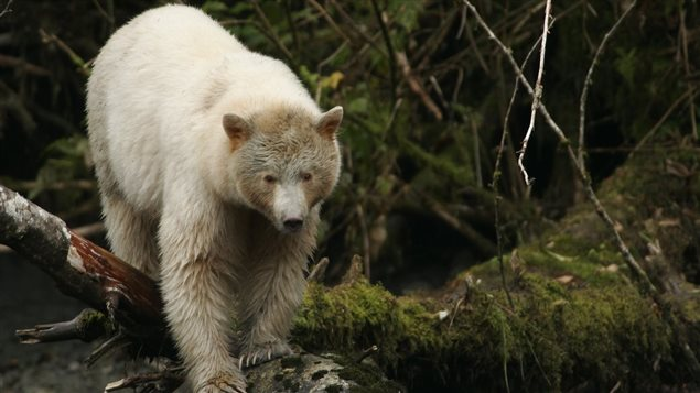 The unique white-furred, black bears known as Kermode bear, or Spirit-bear, inhabitats the coastal region of the Great Bear rainforest, and thier habitat will now be preserved in this landmark agreement