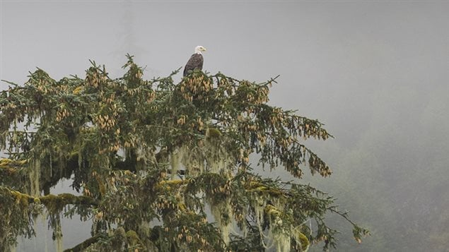 A bald eagle scans the Great Bear rainforest from his perch high in a tree.