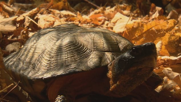 La tortue des bois du Témiscouata
