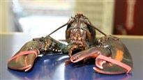 Voici Baba, le homard à trois pinces