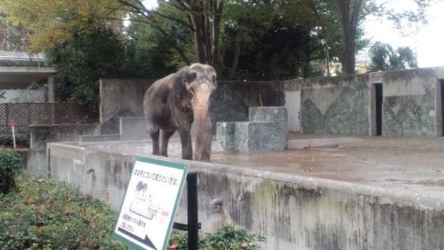 The 69-year-old female Asian elephant has spent almost her entire life in the zoo. in a concrete *prison* alone, and with no stimulation according to a Vancouver blogger