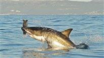 Un nombre record d'attaques de requins en 2015, selon des experts