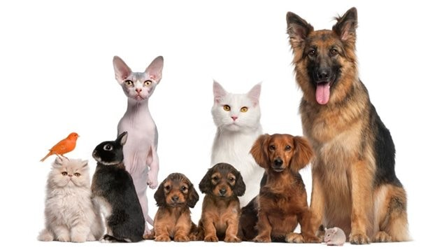 Chats ou Chiens? Voilà la question!