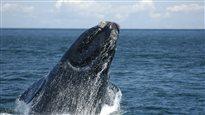 Quel espoir pour la baleine noire?