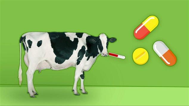 Une illustration montrant une vache et des antibiotiques