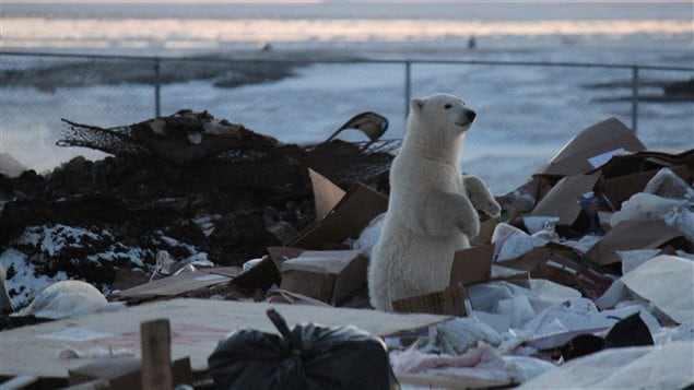 Polar bears are attracted to human waste in Arviat, NU while waiting for sea ice to form in the fall