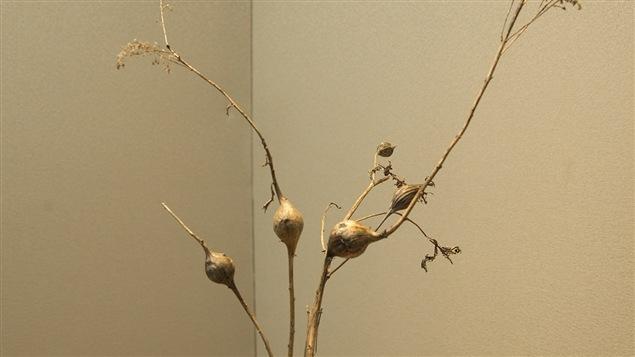 Des larves ont fait de ces boutons de verge d'or leur refuge hivernal.