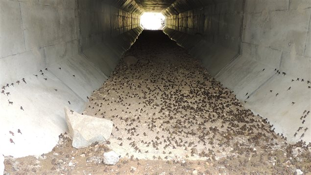 The province built a special tunnel underthel ocal highway to help protect the millions of toads during their annual migrations to and from Summit Lake. Dozens of volunteers also help to carry toads safely across the road above.