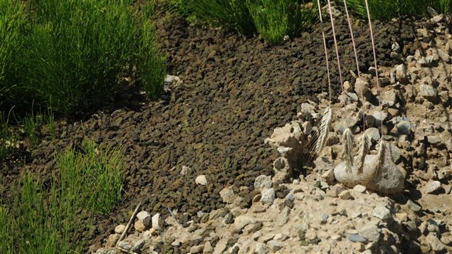 Toadlets leaving the toad tunnel during 2015 migration near Summit Lake, BC.