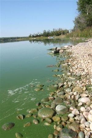 Algal bloom along the shoreline of Nakamun Lake, Alberta