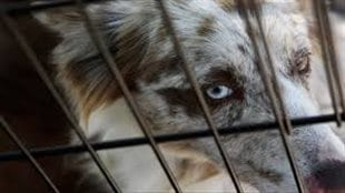 ope Bill C-246 would lead to the end of puppy mills. We see a close up of a shepherd-like dog's face behind the thin bars of a cage. We see the dog's right eye. It holds a look of terror.
