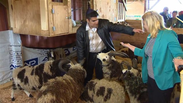 Gil and Jenna Lewinsky now have the largest jacob sheep herd in Canada at around 100 animals. .