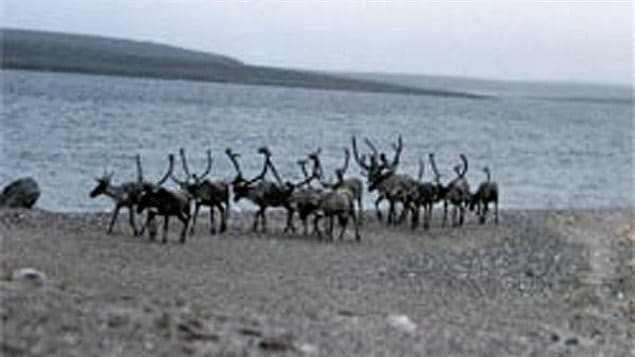 The Nunavut Planning Commission is holding technical hearings in Iqaluit this week where stakeholders will talk about how to manage caribou herds and their habitat, and the crucial caribou calving grounds